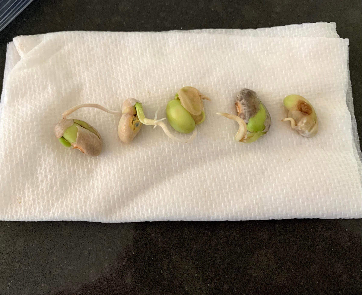 sprouting beans
